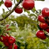 Historisk tidlig og meget flot æblehøst. Det blandede vejr siden foråret betyder en flot dansk æblehøst. Branchen dækker dog stadig kun en lille del af det danske forbrug, hvor det meste importeres. Arkivfoto: Foto: Malte Kristiansen/Scanpix 2016)