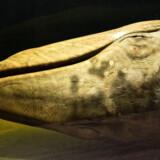 I et hjørne ligger et blåhvalskranie, som en handelsmand tog med hjem. Det er 150 år gammelt, men der siver stadig fedt ud af knoglerne, der er klistrede og lugter af brændte popcorn med smør.
