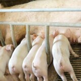 En ny mærkningsordning skal gøre det lettere at se, hvor godt grisen har haft det. (Arkivfoto) Colourbox/arkiv