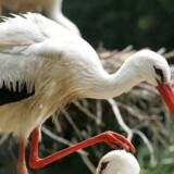 Hele to storke blevet set i Esbjerg, hvor de tog et kortvarigt hvil, inden de fløj videre, skriver storkene.dk. Arkivfoto. Www.colourbox.com