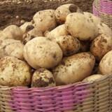 Den klassiske kartoffelsalat med cremefraiche, grøntsager og kolde kogte kartofler, tilfører tarmen hele tre forskellige gaver i form af resistent stivelse, fibre og kulturer fra surmælken, der er mad for tarmen i stedet for maven. Free/Gnu Free Documentation License/arkiv