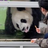 17 zoologiske haver uden for Kina har i dag pandabjørne til låns. Og næste gang er det Danmarks tur til at få et pandapar, der skal bo i Zoologisk Have i København.