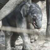 Elefanten Kungrao har natten til onsdag den 17. maj 2017 født en unge i Københavns Zoo. Ungen blev født klokken 04.24, og der er tale om en lille han. Kungrao fik i 2013 sin første unge, der desværre døde kort efter af herpesvirus. Den lille nye unge er den 13. elefantunge født i zoo siden 1970.