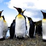 Pingviner foretrækker at spise vandmænd fremfor anden føde, selvom vandmændene næsten udelukkende består af vand.