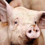 BMINTERN - Tre dage for slagtning kigger en gris i kameraet i grisestalden hos en griseavler i Kalundborg.