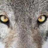 Skrønerne om ulvens farlighed og appetit på børn og små lam holdes dygtigt i live af blandt andre fåreholdere med økonomiske interesser i en ulvefri natur, hvor de kan have husdyr gående.