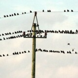Ikke alle danske husstande og virksomheder kan få Internet-forbindelser i ordentlig hastighed. Men fuglene her er bogstaveligt allerede på nettet. Foto: Henning Bagger, Scanpix