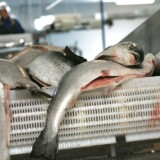 Arkivfoto. Verdens største opdrætter af atlanterhavslaks i Norge - Marine Harvest - har taget et noget usædvanligt skridt i forhold til fremtidig lakseavl.