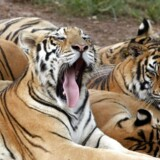 epa05253882 (FILE) A file photograph showing tigers at the Xiongsen Bear and Tiger Mountain village, home to about 1, 400 reserve tigers in Guilin, China, 24 August 2007. The World Wildlife Fund (WWF) states on 11 April 2016 that after a century of constant decline, global wild tiger populations are on the rise. According to the most recent data, around 3, 890 tigers now exist in the wildóup from an estimated 3, 200 in 2010. EPA/MICHAEL REYNOLDS
