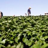 De meget omtalte jordbærplukkere fra Østeuropa, der kommer til Danmark for at arbejde, har måske alligevel ikke automatisk ret til at få sociale ydelser på niveau med danskerne.