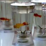 Marco Evaristtis værk bestående af blendere, vand og akvariefisk var for 16 år siden tænkt som et billede på tilværelsens risici og livets vilkårlighed. Foto: Palle Hedemann/Scanpix Nordfoto