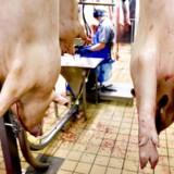Danske svinehoveder og grisetæer er i forvejen en yndet spise i Kina. Nu er turen kommet til de gode udskæringer til høje kilopriser.
