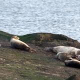 Sæler holder normalt til ved kyster og fjorde, men nu er de også begyndt at dukke op i flere vestjyske åer. Det generer områdets lystfiskere, da sælerne gør indhug i fiskebestandene. Scanpix/Steffen Ortmann/arkiv