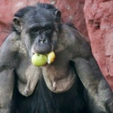 Chimpansen Sita fra den tyske zoo Gelsenkirchen Zoo er også vil med æbler. EPA/Roland Weihrauch