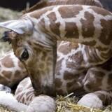 En lille giraf er kommet til verden i Aalborg Zoo torsdag morgen. Dette billede er dog en unge, der blev for nogle år siden samme sted.