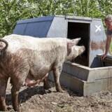 Danmarks største økologiske svinefarm Hestbjerg ved Holstebro Indehaver Bertel Hestbjerg besigtiger en so med unger Reportage fra svinefarmen