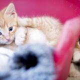 Flere og flere danskere henter deres nye kat på et af Dyrenes Beskyttelses internater. Den gode historie om kattens fortid, lokker folk til, fortæller projektleder.