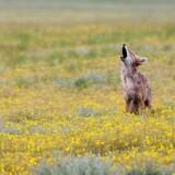 Ung coyote - peærieulv - i den nye nationalpark, Valles Caldera.