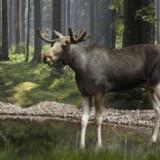 Efterårsferietip: Tag på elgsafari i Smålandet. Foto: PR
