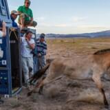Bayan fra Givskud Zoo sprang ud af transportkassen og ind i sin nye tilværelse som rigtig vildhest i Gobiørkenen i Mongoliet.
