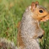 Det importerede grå egern er ved at fortrænge det oprindelige røde egern fra naturen i Storbritannien. Foto: Steve Byland