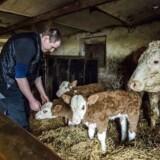 ARKIVFOTO marts 2015. Landmand Karsten Abrahamsen i Vammen har fået trillingekalve. Det sker maksimalt ni gange om året ud af de over 650.000 kælvinger, der er på landsplan årligt. Den typiske landmand knokler mere end så mange andre, viser nye tal.