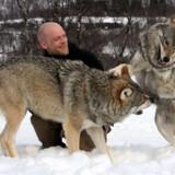 »Ulven er stamfader til menneskets bedste ven, hunden, og ved at afkode ulvens adfærd vil man forstå sin hund bedre,« siger adfærdsekspert Julian Brossé.