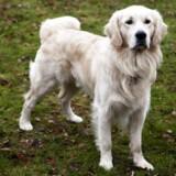 Norske hunde- og katteejere har fået nye retningslinjer for, hvordan de skal behandle deres kæledyr. Hunde skal luftes tre gange om dagen, og det er blevet forbudt at løfte en kat i nakkeskinnet. (Arkivfoto)