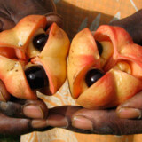 Frugten Ackee er Jamicas nationalfrugt.