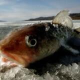 Det kan få stor betydning for fiskeriet i Nordgrønland, hvis der kommer nye fiskearter til området, fordi den naturlige barriere mellem Atlanterhavet og Stillehavet nedbrydes som følge af stigende havtemperaturer og øget skibsaktivitet gennem Beringstrædet.