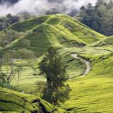Som et saftigt grønt bølgende tæppe breder temarkerne sig i det uendelige. Jo højere op, man når, jo mere imponerende er synet. Sungai Palas Tea Estate ligger netop højt, og her kan man kombinere en rundvisning på tefabrikken med nogle af de flotteste syn over temarkerne.