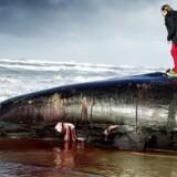 Det er ikke unormalt, at hvaler eksploderer, når de bliver parteret efter at være strandet. Læs her hvorfor.