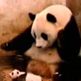 Denne panda-mor får sig en forskrækkelse da hendes unge pludselig nyser. Se hele videoen herunder.