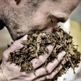 Scandinavian Tobacco Group Nykøbing. STG Nykøbing. Skandinavisk tobakskompagnis fabrik i Nykøbing Falster. Her fabriksdirektør Jan Nielsen.