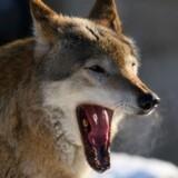 En obduktion foretaget af DTU Veterinærinstituttet viste i november 2012, at det var en ulv, der var fundet død i Hanstholmreservatet i Thy. Nu viser dna-spor, at der også har været ulv på Fyn i 2016. Colourbox