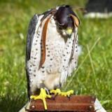 Jagtfalke får en hætte over hovedet, for at de kan holde sig i ro, bl.a. når de bliver transporteret.