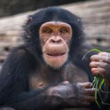 »Som læser kan man jo spørge sig selv: Hvorfor i alverden vidste jeg ikke, at absolut fattigdom er halveret over de seneste 20 år? Hvem i alverden har bildt mig ind, at verdens befolkning vil blive ved med at stige? Som Rosling lige dele drillende og tankevækkende gør opmærksom på, skal vi ikke bare forklare folks uvidenhed. En chimpanse ville have svaret bedre på hans spørgsmål end langt de fleste højtuddannede vil. Vi skal forklare, hvorfor vi er systematisk fejlinformeret om verdens sande tilstand,« skriver Rune Selsing.