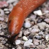 Dræbersneglen kan være svær at komme til livs, fordi den formerer sig hurtigt og har få naturlige fjender i Danmark. Colourbox
