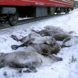 Døde rensdyr, som blev påkørt ved Mosjøen i weekenden.