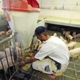 DCH International, som er ejet af 98 primært danske landmænd, har specialiseret sig i svineproduktion i Rumænien og kan nu blive en del af porteføljen i den danske kapitalfond Polaris. PR-foto
