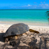 Tortuga en la playa de Heron Island Foto: Kirsten Hansen og Heron Island Resort
