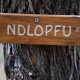 Når alle grænsehegn er fjernet, kan savannens dyr vandre frit mellem de tre lande, som Great Limpopo Transfrontier National Park breder sig over.