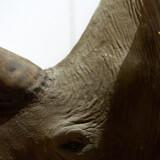 En gæst ville købe et næsehorn som fødselsdagsgave til en ven.