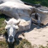 Selv dyrene fra sydligere himmelstrøg i Knuthenborg Safaripark bliver sløve, når det bliver rigtig varmt.