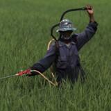 En bonde sprøjter pesticider - sprøjtegift - ud over en mark nær Subang, Indonesiens vestlige Java-provins.