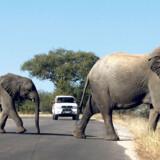 Elefanter krydser vejen i Kruger National Park i Sydafrika.