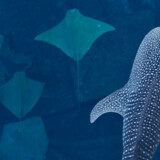 Den fire meter lange hvalhaj svømmer sammen med 60.000 fisk, bl.a rokker i det udendørs akvarium.