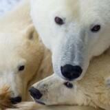 Souvenirs lavet af isbjørnen giver bøde og bliver konfiskeret i tolden i Danmark, hvis man forsøger at snige dem med ind, for den hvide bamse er stærkt udryddelsestruet og alle varer lavet helt eller delvis af den er på listen over forbudte souvenirs.