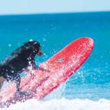 Hunden George har lagt navn til surfskolen »Black Dog Surfing«.