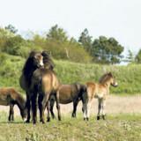 De vilde Exmoore-ponyer blev indført til Danmark i 2003 og får nu lov til at leve med mindst mulig indblanding fra mennesker.
